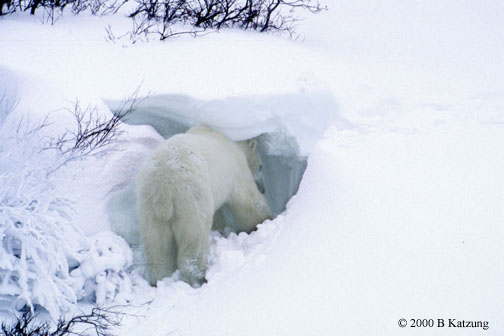 bear-snowcave